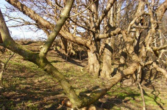 alte Bäume am fossilen Kliff