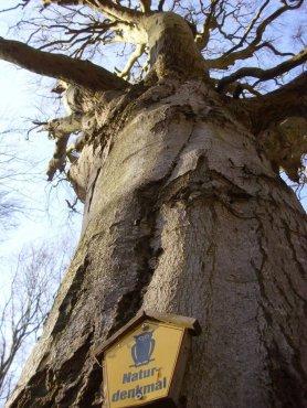 Naturdenkmal Adlerbuche