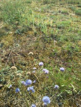 Blühaspekte im Juli 2019 auf der Fläche des letzten Arbeitseinsatzes. Im Vordergrund das Berg-Sandköpfchen im Hintergrund die Sand-Strohblume. (Foto: Roger Meyer zur Capellen)