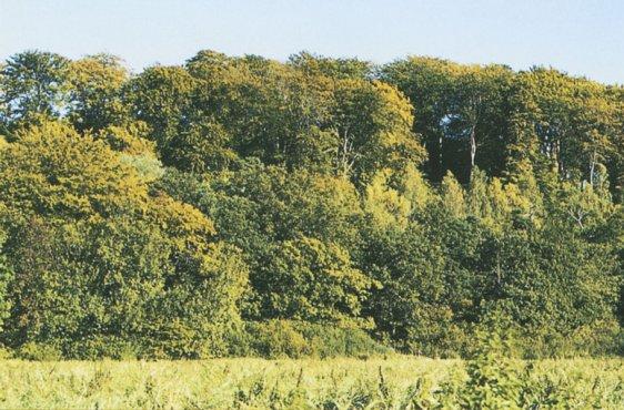 Blick auf den Hangwald vom Vorland der Elbe aus (Bild mit freundlicher Genehmigung (c) Demmler Verlag)