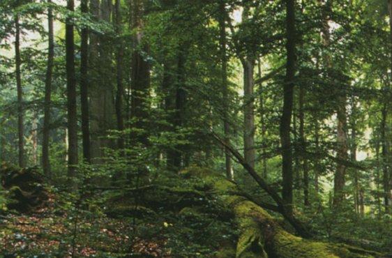 Buchenwald im Serrahner Teil (Bild mit freundlicher Genehmigung (c) Demmler Verlag)