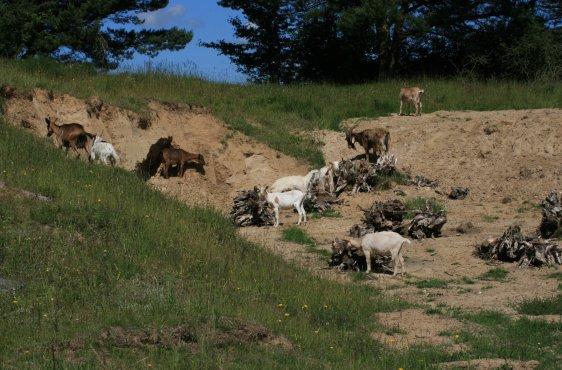 Ziegen und Schafe bei der Landschaftspflege