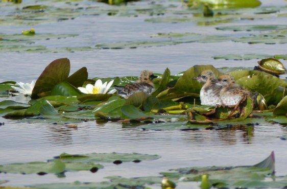 Küken der Weißbart-Seeschwalbe auf Teichrose