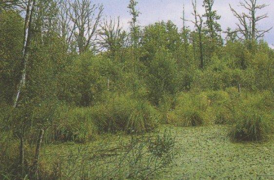 Eutropher Bereich mit bultigen Großseggen (Bild mit freundlicher Genehmigung © Demmler Verlag)
